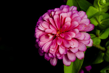 Wall Mural - pink of zinnia flower in bloom