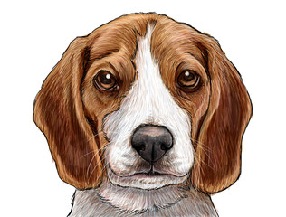 Beagle puppy dog head hand draw and paint illustration on white background.