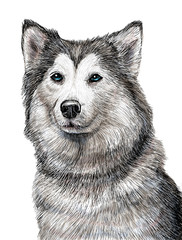 Siberian Husky dog hand draw and paint illustration on white background.