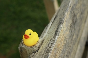 Yellow rubber duck on a brown wood.