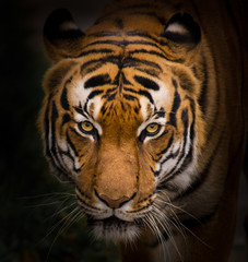 Sumatran Tiger close-up.