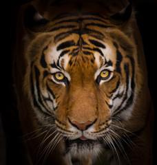 Zbliżenie tygrys sumatrzański.