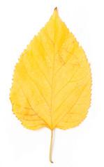 yellow autumn leaf on a white background