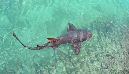 Shark  in the ocean. Jamaica