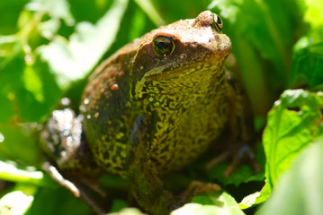 green frog in summer on a grass
