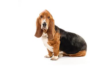 Happy dog Basset Hound sitting on the white background