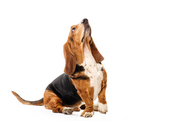 Basset Hound dog sitting on the white background and looking up