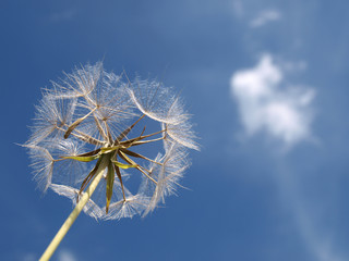 White dandelion against blue sky with clouds