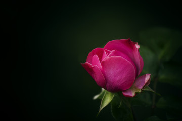 lovely garden pink rose on blurred green background, soft select