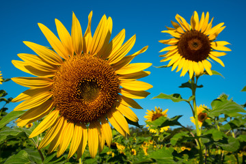 Sunflower field and blue sky in background.