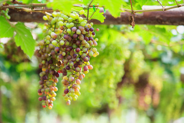 Bunches of red wine grapes hanging on the vine