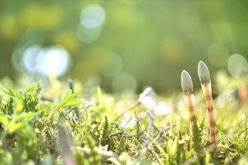 春のきらめく光とツクシ