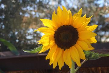Sunflower Catching the Sun