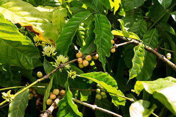 Poster - raw coffe plant in agricultural farm