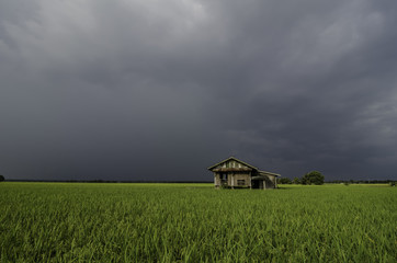 abandon wooden house in the middle of paddy field with dramatic cloud