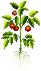 Fresh tomato on the tree