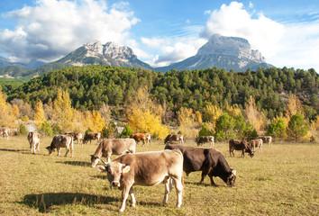 Vaches Aubrac en pâture dans le massif pyrénéen