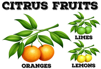 Citrus fruits on branches