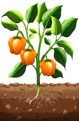 Orange capsicum on the plant
