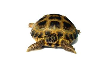Pet turtle .