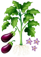 Eggplants with flower and roots