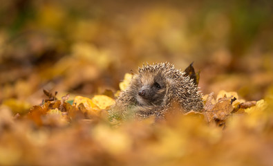 A cute little wild hedgehog sitting in a pile of golden autumn leaves