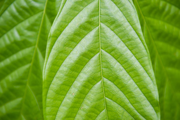 Tropical green leaf with natural veins and texture in a close-up abstract background