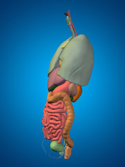 3D human or man internal or thorax organs for anatomy or health