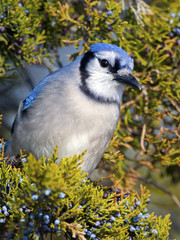 Blue Jay in Tree eating berries