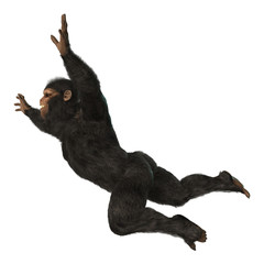 Chimpanzee Monkey on White