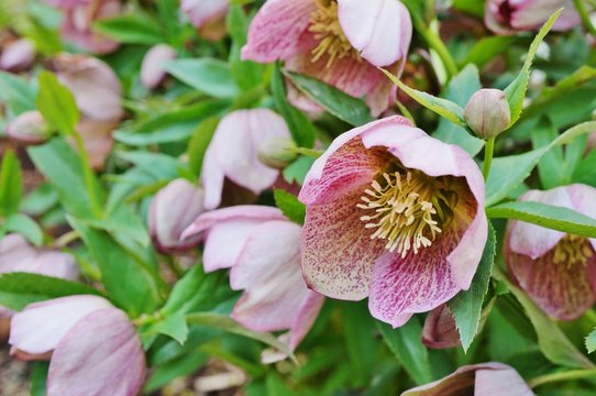 Purple hellebore flowers of the helleborus hybridus (Christmas or Lenten rose)