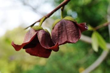 Flowers of the common paw paw tree (asimina triloba)