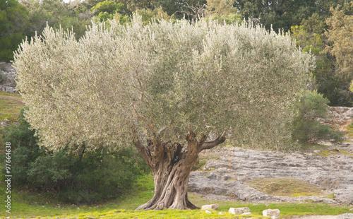 provence olivier arbre paix photo libre de droits sur la banque d 39 images image. Black Bedroom Furniture Sets. Home Design Ideas