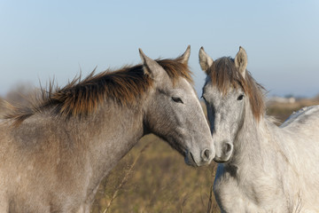 Two wild horses in the Camargue