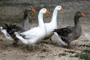 Domestic geese walking on traditional village goose farm