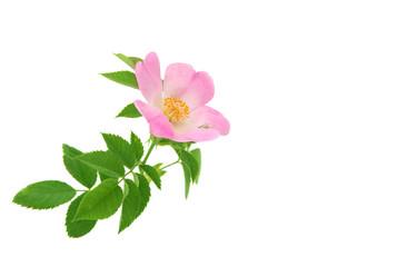 Rose wild rose
