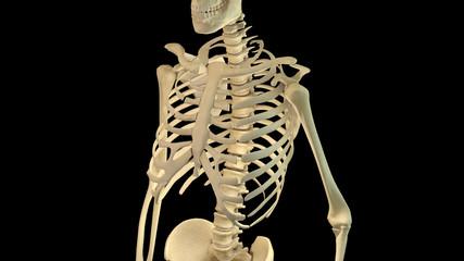 thorax skeleton