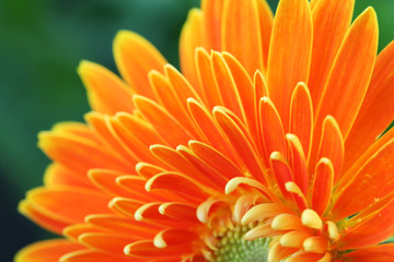 Foto auf Acrylglas Gerbera close up of gerbera flower