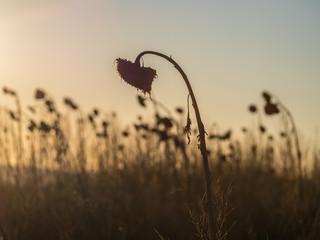 Verwelkte Sonnenblumen im Sonnenuntergang