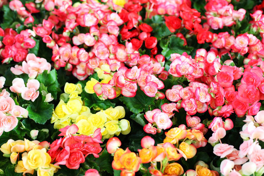 colorful begonia flower