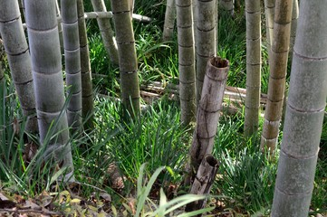 Bamboo trees on a Japanese mountain