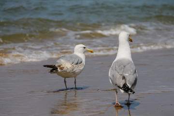 Two seagulls in a water of North sea in Zandvoort, the Netherlan