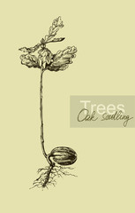 Graphic hand drawing of a seedling oak acorn. Vector.