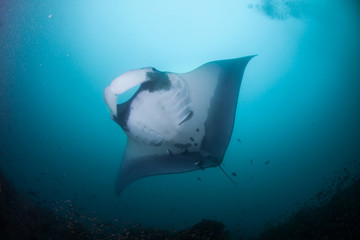 Fototapete - A graceful manta ray swimming calmly overhead