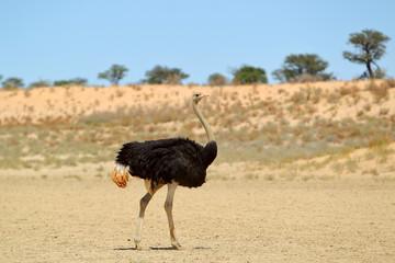 Struś afrykański na Kalahari