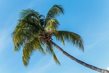 Coconut tree under blue sky.