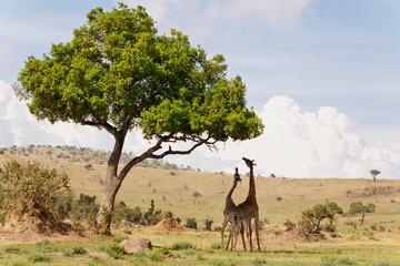 Giraffen an Akazie