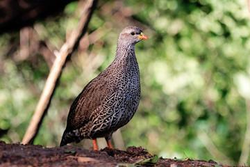 francolino del natal pternistes natalensis uccello di savana e praterie africane