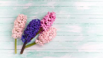 Fresh pink hyacinths flowers  on  turquoise painted wooden backg
