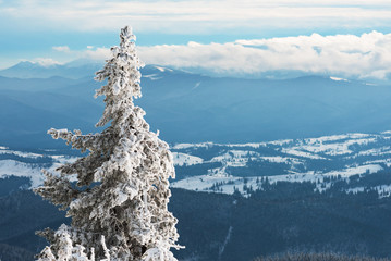 Fir-tree in snow on a background of winter mountains